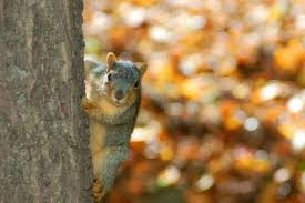 Squirrels of IU