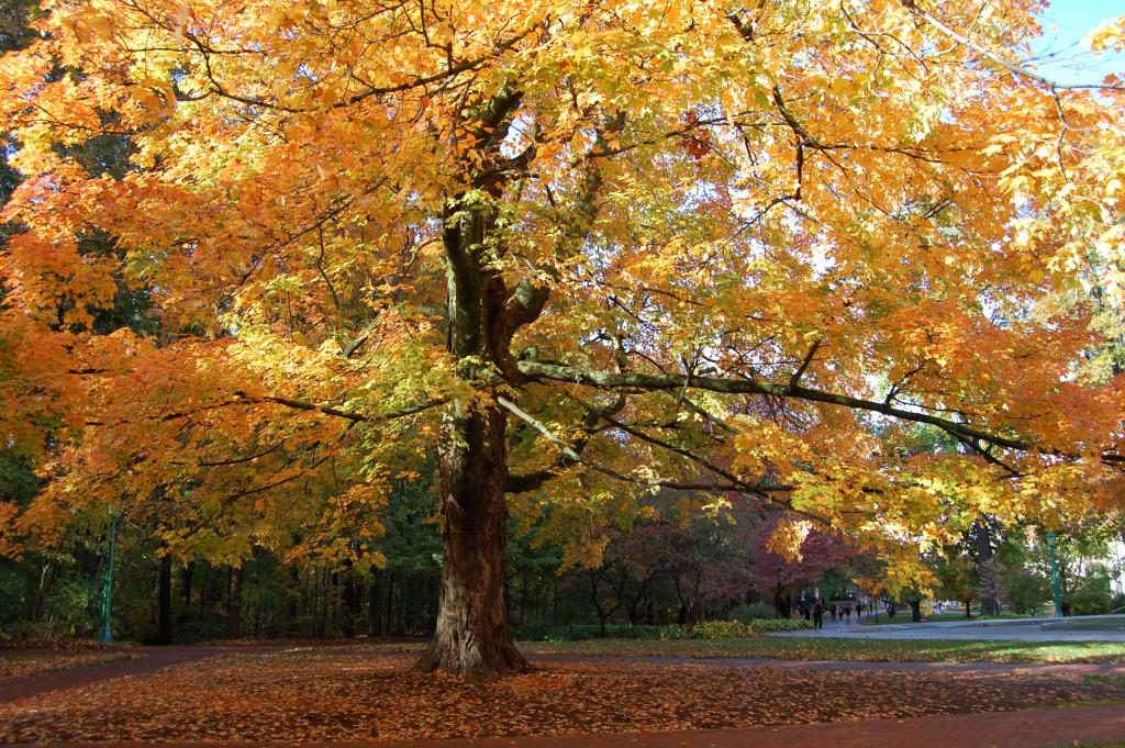 A beautiful sugar maple tree during fall
