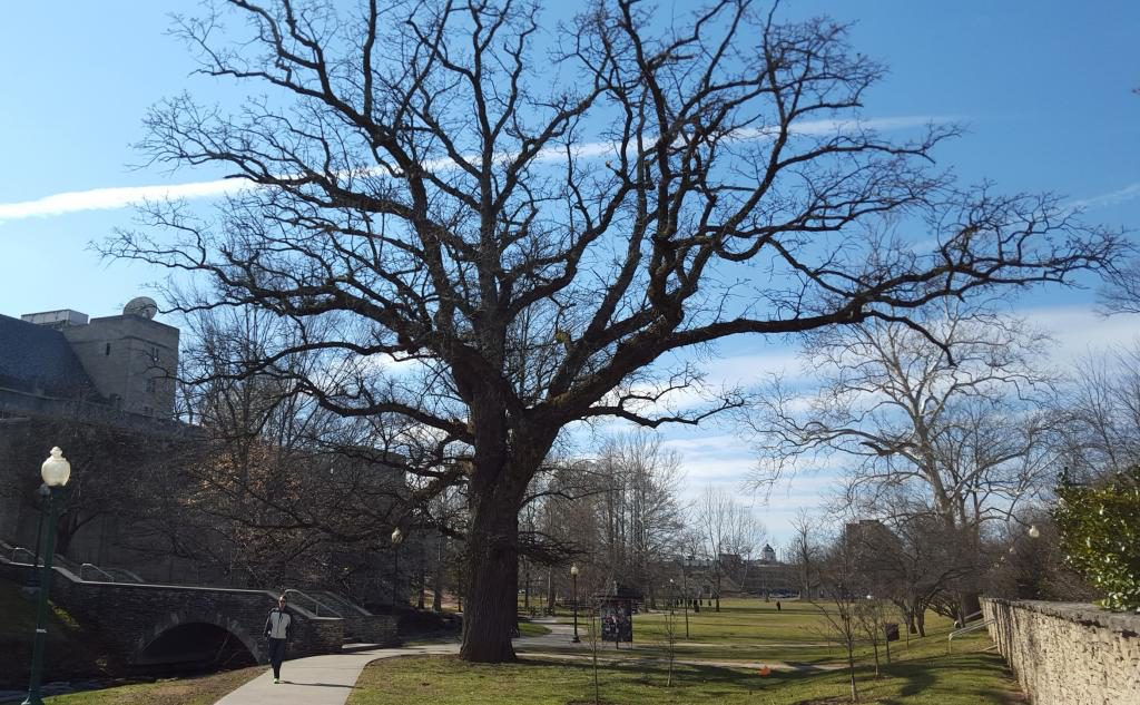 The large bur oak tree in front of the IMU